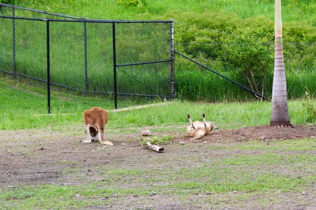 Kangaroos just lying around