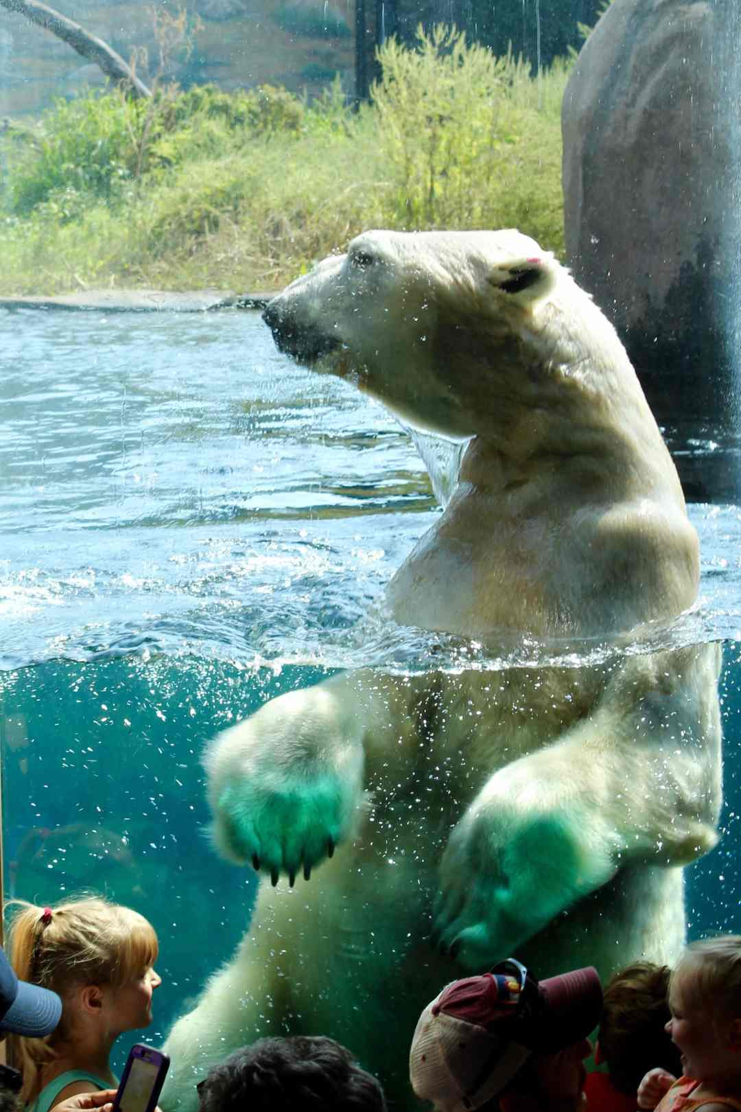 Polar Bears at the Como Zoo Swimming