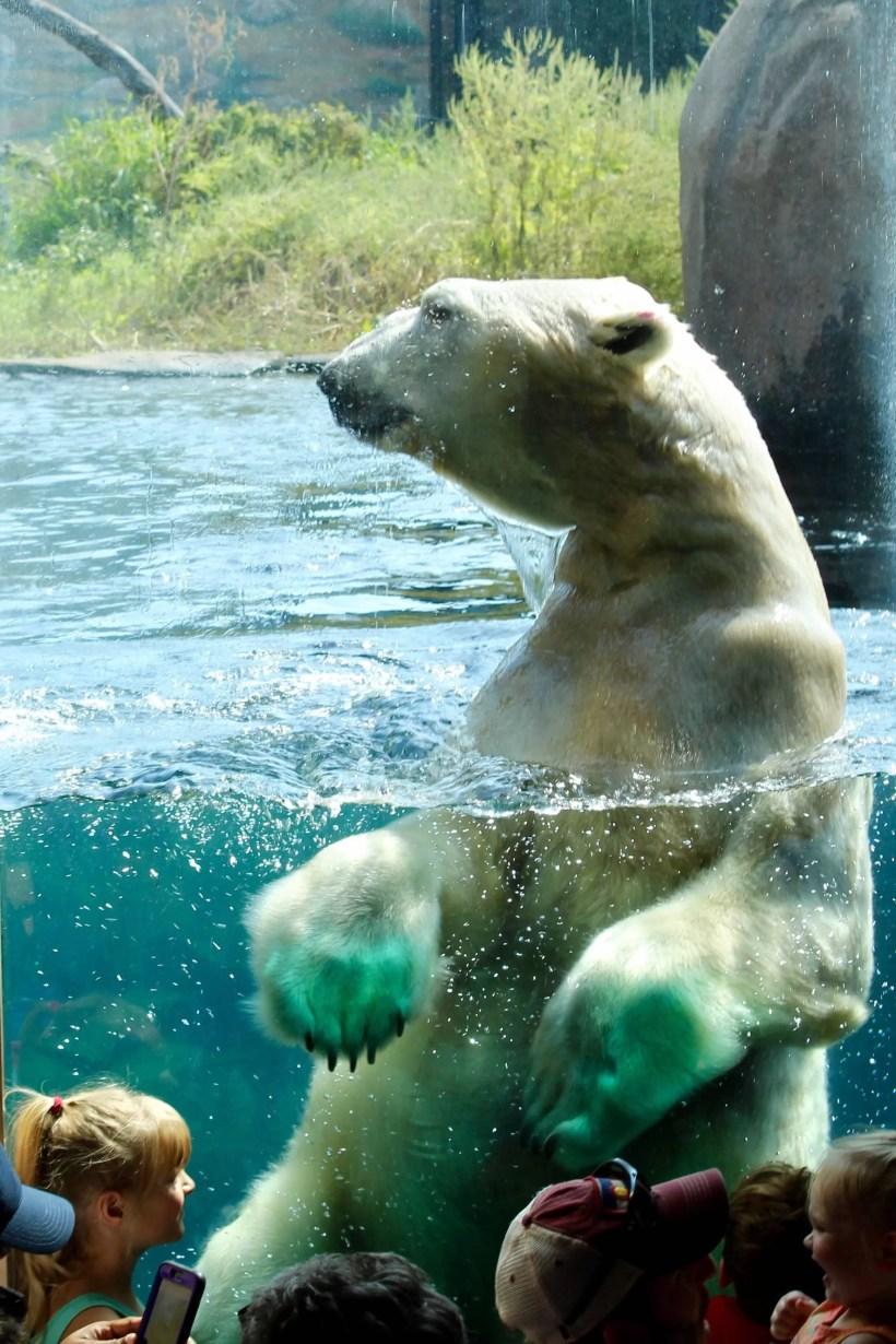 Polar Bears at the Como Zoo Swimming