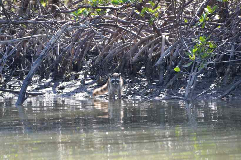 Raccoon in the Mangroves