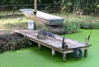 Alligator at the Audubon Zoo in NOLA