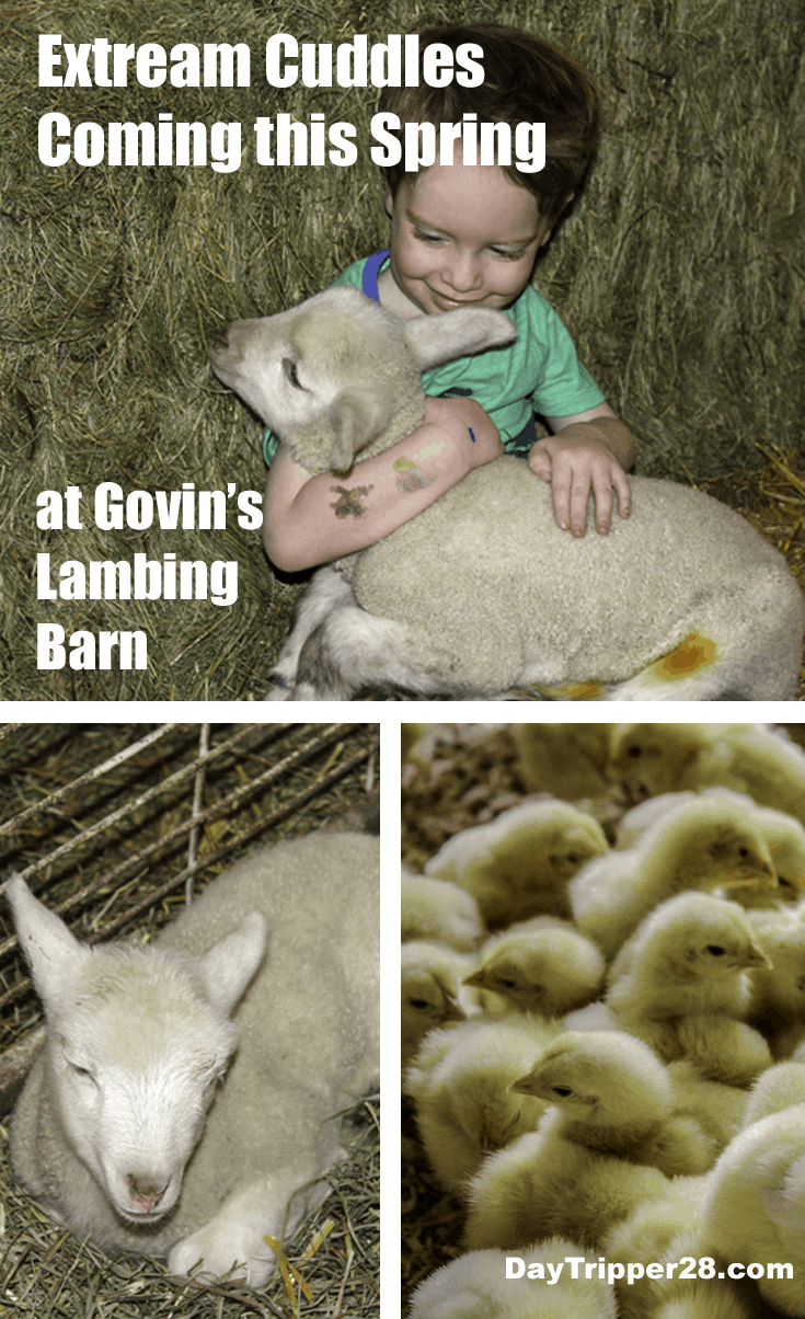 Cuddle up this spring with the newest members of the Govisns Farm Lambing Barn. This petting zoo is spring time family fun! Menominie Wisconsin | Wisconsin Fun | Govins Lambing Barn | Things to do in the Twin Cities | Wisconsin | Farm Fun