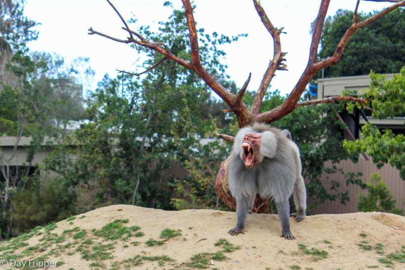 Don't mess with this zoo animal at the San Diego Zoo