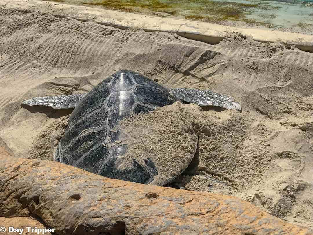 Sea Turtle digging in sand at SeaWorld
