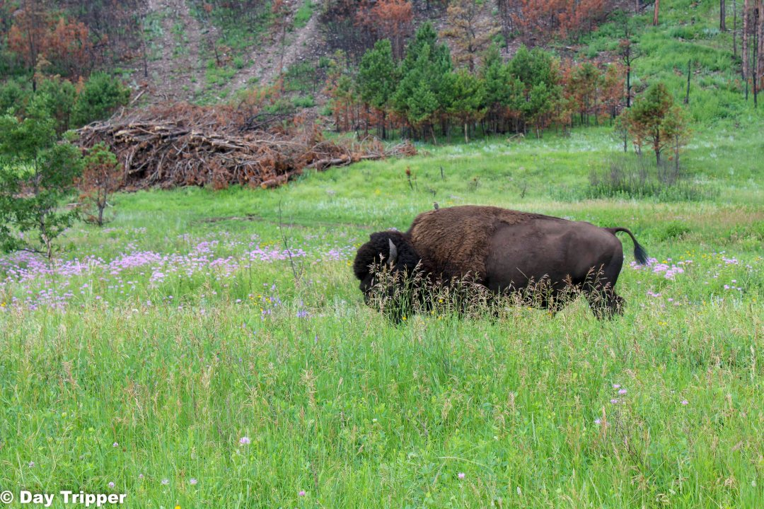 Bull on the Prairie at Custer State Park