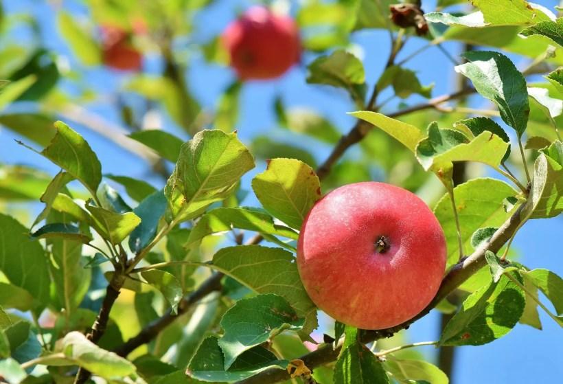 Apple Picking, Autumn in Minnesota