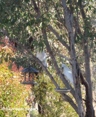 Cockatoos in small gum tree watching the birdfeeder, 2011