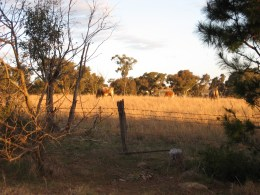The neighbour's cows_2011