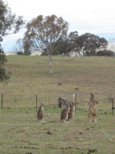 Kangaroos on alert to a noise