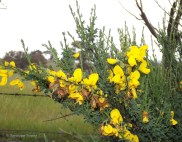 Yellow English broom grows under trees.