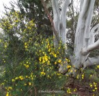 Yellow English Broom seeded under our eucalypt