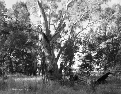 Giant eucalypt at Jugiong Creek Reserve, New South Wales, Australia