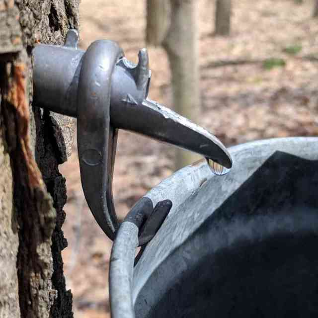 Things to do around Rochester NY: Maple Syrup at Helmer Nature Center