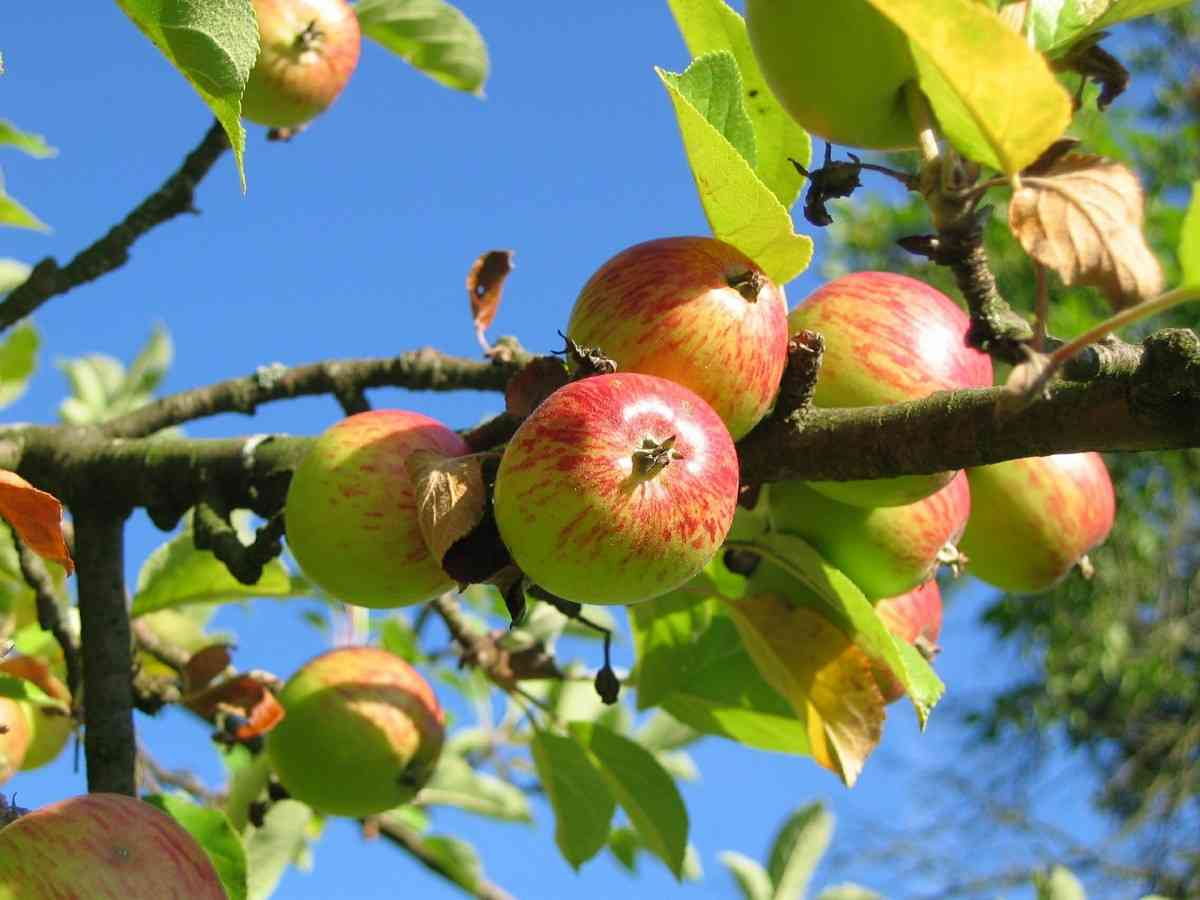 Apples: 22 Places to Pick Your Own Around Rochester