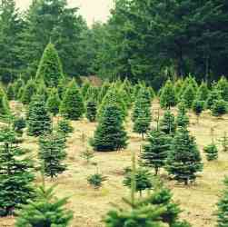 Pick Your Own U-Pick Christmas Tree