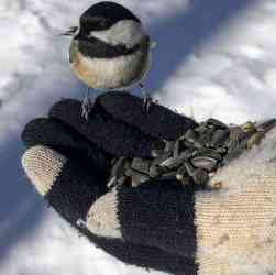 Mendon Ponds Chickadee cover
