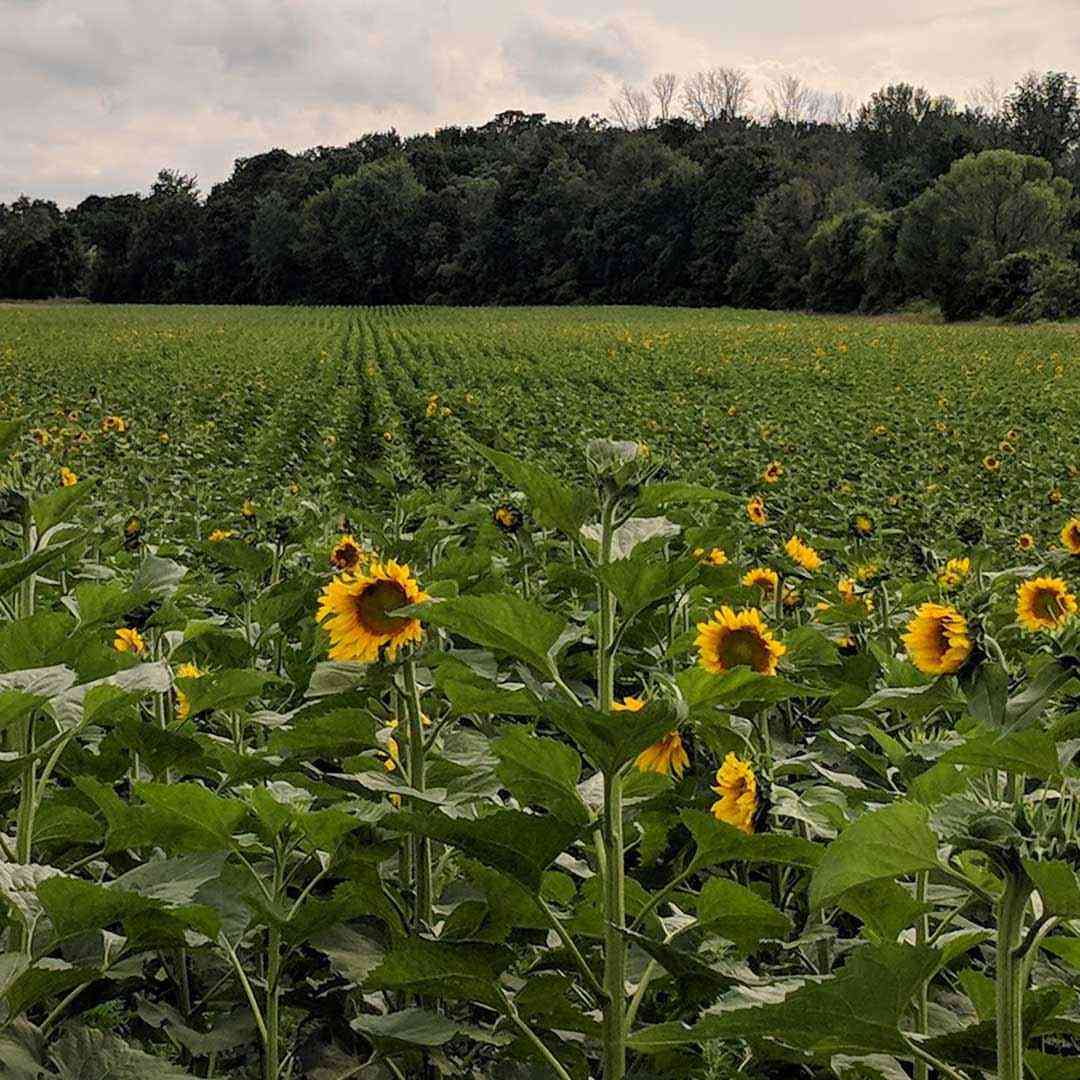 Sunflower Field Pittsford Clover Calkins