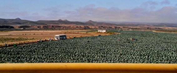 Cebolla Fields (Onion) near El Rosario