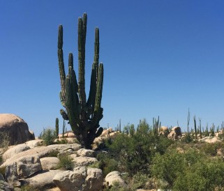 Cardon Cactus are the largest cacti in the world. Very beautiful to see.