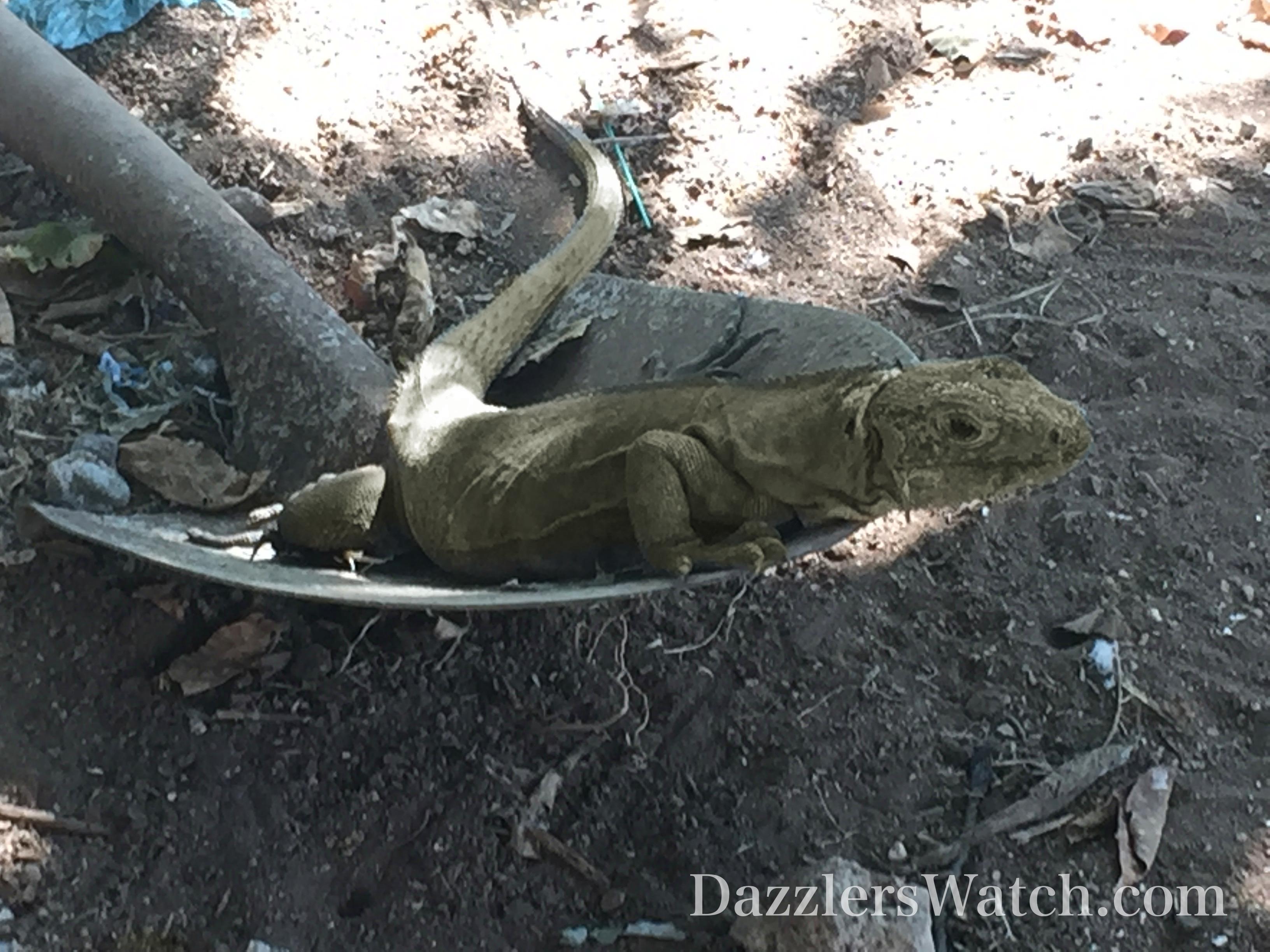 DW Iguana Shovel