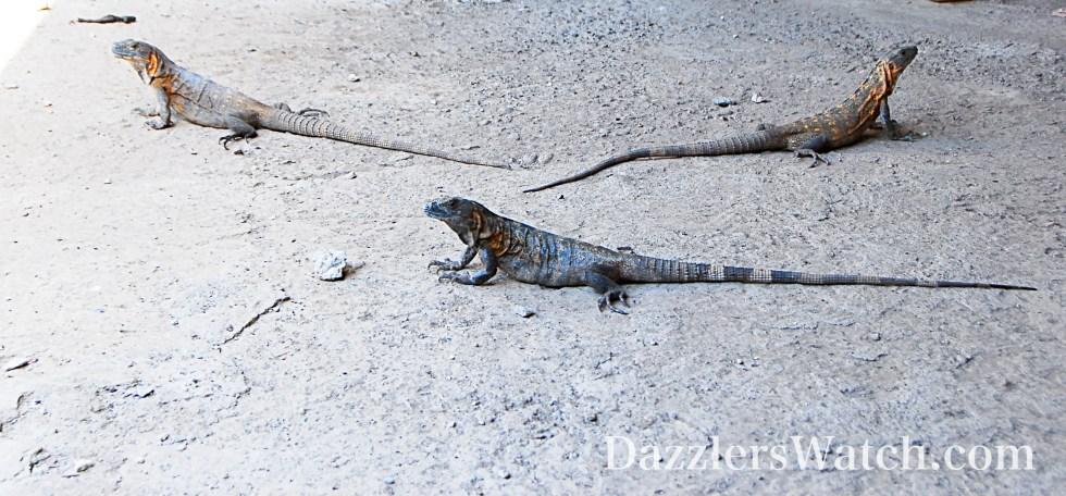 DW Iguanas