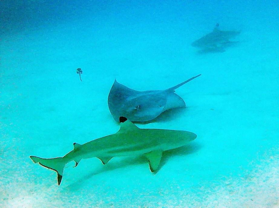 Sharks & Ray