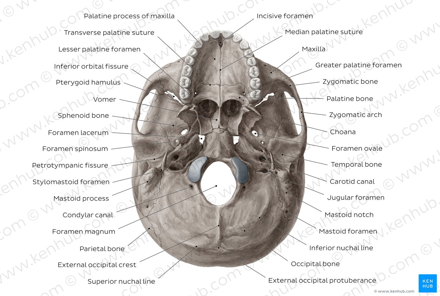 Diagram Pictures Inferior View Of Base Of The Skull