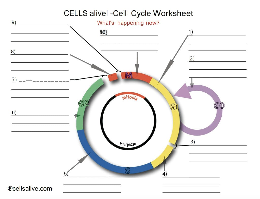 Cells Alive Cell Cycle Worksheet Answers