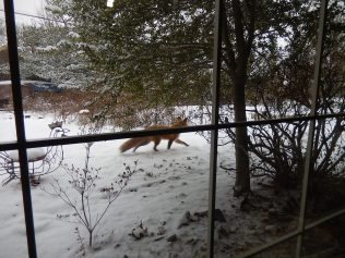 Red fox scampering