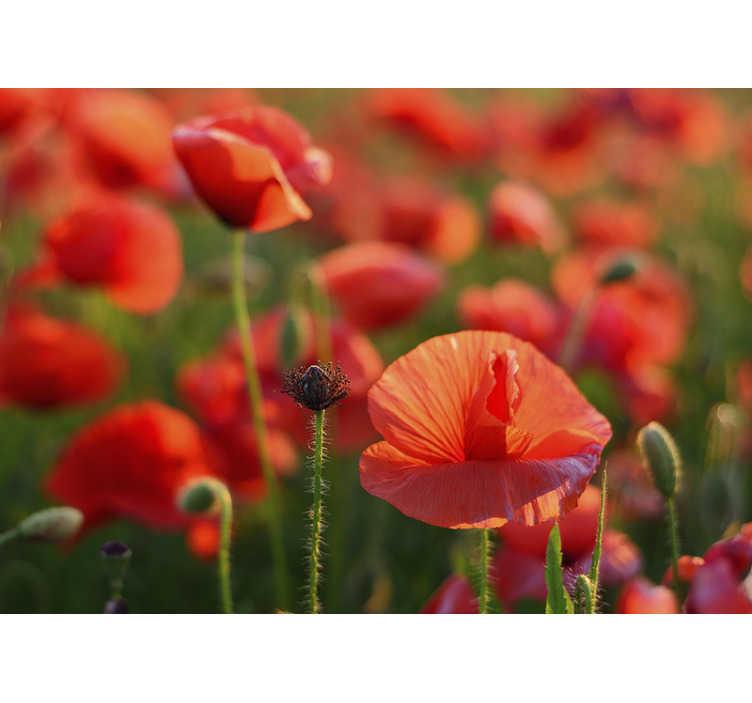 6 533 Mohnblume Mohnblumen Sonnenuntergang Fotos Kostenlose Und