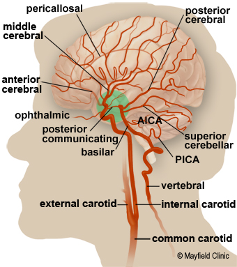 Detailed illustration of the arterior circulation of the brain