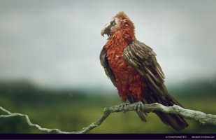 bearded vulture side high res