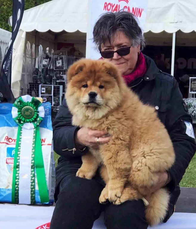 Chow Chow hvalp Bidachows Jade the Jewel Best In Show Birgit Dammann