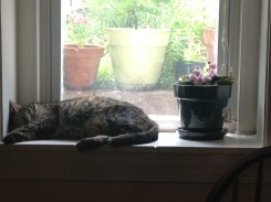 This is Maytag's spot. She has to share it with the African Violet, but she gets most of the sun.
