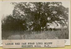 A Red Oak near Long Bluff.