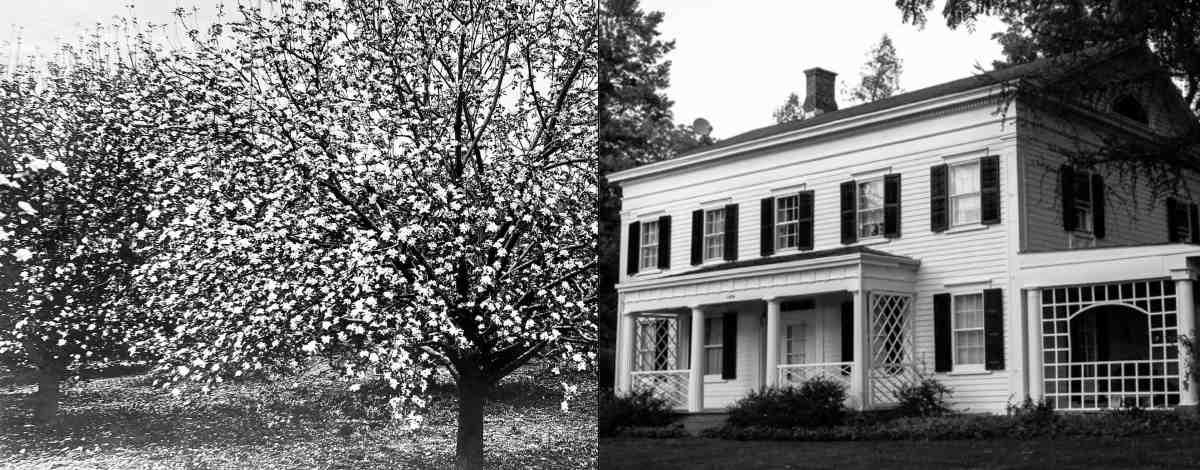 Heartsease Blossoms