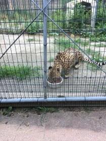 チーターが目の前で食事してます。噛む音やのどが動くさまもよく見えます。