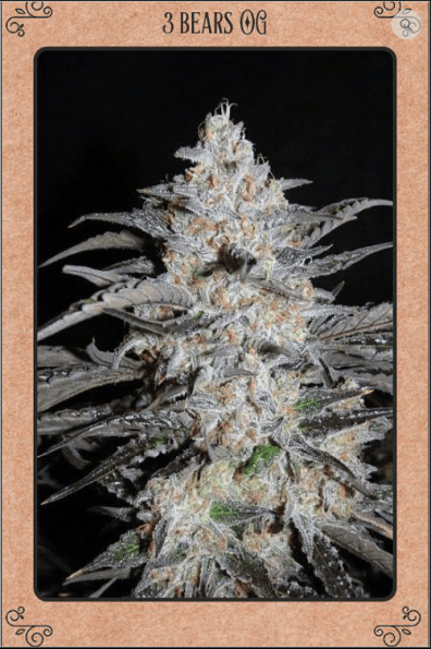 3 Bears OG Auto 7 Feminized Seeds