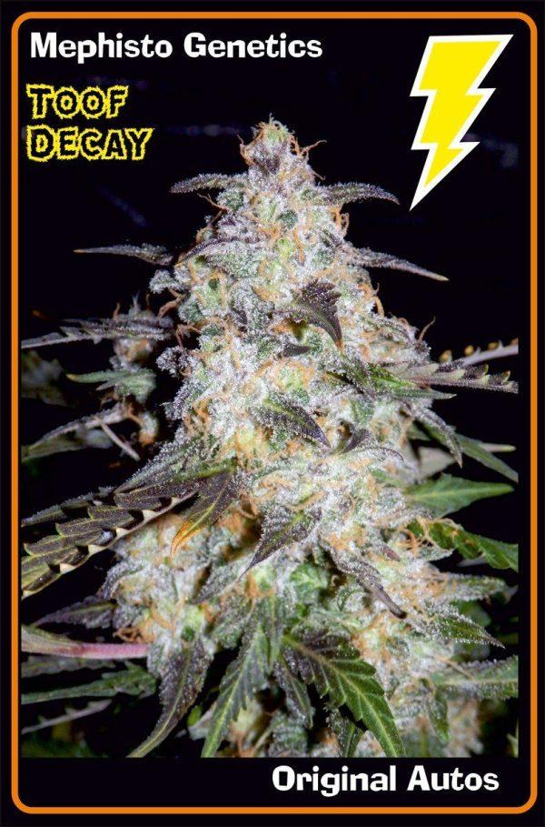 Toof Decay F5 (Sweet Tooth x P.I. Breeding Auto [inbred to F4]) Auto 7 Feminized Seeds