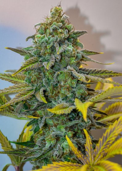 Cinderella 99 (Princess x P94) 12 Regular Seeds