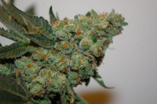 Digital Gorilla (Blueberry OG #3/Cookies & Cream x Gorilla Glue #4 + Cookiewreck #2) 12 Regular Seeds