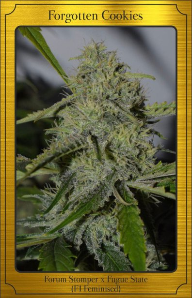 Forgotten Cookies Auto (Forum Stomper x Fugue State) 7 Feminized Seeds (LIMITED EDITION)