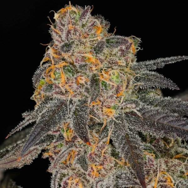 Cherry Vanilla Cookies (Platinum Girl Scout Cookies X  Ms.Universe clone only) 10 Regular Seeds