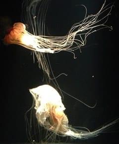 The Immortal Jellyfish at fallFRINGE 2013