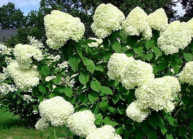 Varieties Of Hydrangeas Varieties Of Hydrangeas