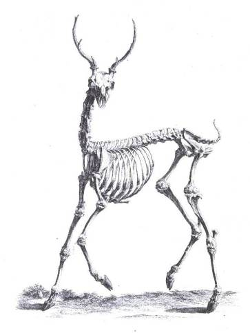 Animal-Deer-Skeleton