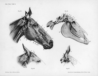Horse_anatomy_head