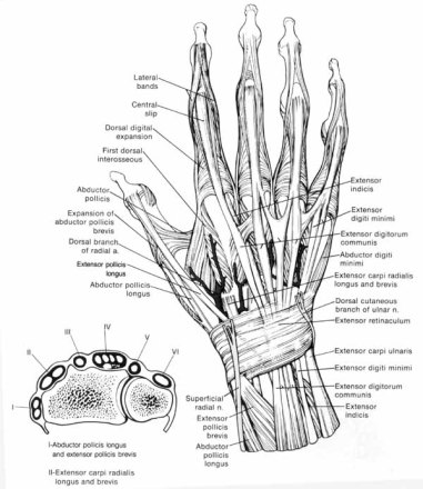 anatomy-of-the-arm-and-hand