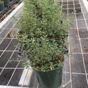 4-inch Thyme pot
