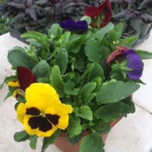 8-inch Pansy Round pot